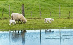 Sheep Mother With Lambs. New Zealand mother sheep and her twin lambs with their coats on Stock Photography