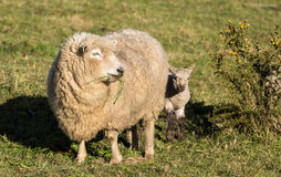 New Zealand Mother Sheep. One New Zealand sheep with her young lamb close behind her Royalty Free Stock Image