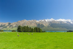 New Zealand mountains. Beautiful landscape of the New Zealand - hills covered by green grass with herds of sheep with mighty mountains covered by snow and lake stock image