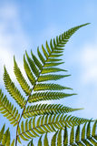New Zealand national symbol silver fern leaf Royalty Free Stock Photo