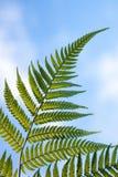 New Zealand national symbol silver fern leaf Royalty Free Stock Photo