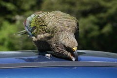 New Zealand native bird Kea parrot trying to get into a car. New Zealand native bird Kea trying to vadalize a car Royalty Free Stock Photography