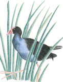 New Zealand Native Bird Pukeko Royalty Free Stock Images