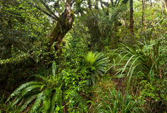 New Zealand Native Bush. Treks of New Zealand native bush in Tongariro National Park is a one of most popular hiking and trekking destination in Australasia royalty free stock photography