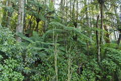 New Zealand Native Bush. Trees and ferns Royalty Free Stock Images