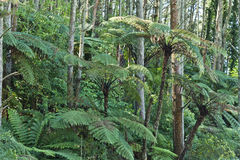 New Zealand Native Bush. Trees and ferns Stock Photo