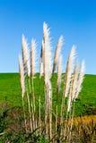 New Zealand native grass - Toitoi. New Zealand native grass plant - Toitoi or Toetoe royalty free stock image