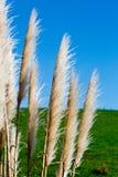 New Zealand native grass - Toitoi. New Zealand native grass plant - Toitoi or Toetoe stock image