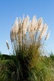 New Zealand native grass - Toitoi. New Zealand native grass plant - Toitoi or Toetoe stock photography