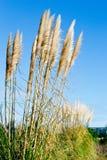 New Zealand native grass - Toitoi. New Zealand native grass plant - Toitoi or Toetoe royalty free stock photography