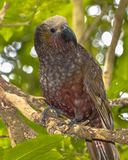 New Zealand native Kaka parrot on branch. New Zealand native Kaka parrot (Nestor meridionalis) perched on branch in rain forest of Kapiti island royalty free stock images