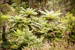 New Zealand Native Ponga Tree Bush. Native Ponga Tree fern frongs in the New Zealand Bush Stock Images