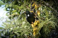 New Zealand native songbird the Tui in native kowhai tree sucking nectar from bright yellow spring flowers. Horizontal format colour image of New Zealand native stock photography