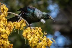 New Zealand native songbird the Tui in native kowhai tree sucking nectar from bright yellow spring flowers. Horizontal format colour image of New Zealand native royalty free stock photo