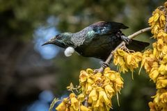 New Zealand native songbird the Tui in native kowhai tree sucking nectar from bright yellow spring flowers. Horizontal format colour image of New Zealand native royalty free stock photos