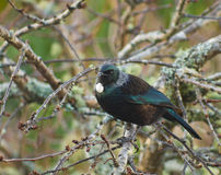 New Zealand native Tui bird in tree. Beautiful Blue Green New Zealand native Tui bird in garden tree - white tuft of feathers at throat Stock Image