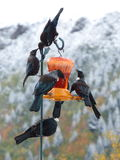 New Zealand native Tui birds on birdfeeder Royalty Free Stock Photography