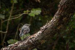 New Zealand North Island Robin Sits In Pine Tree royalty free stock photography