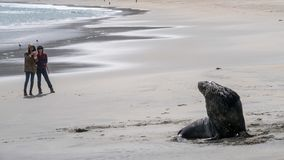 Tourist girls stand afar from a wild fur seal in New Zealand royalty free stock images