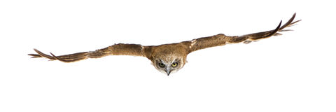 New Zealand owl (3 years) Royalty Free Stock Image