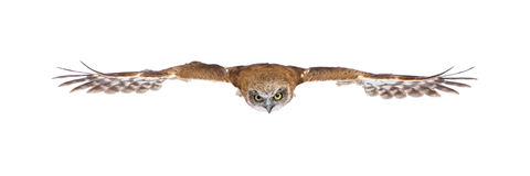 New Zealand owl (3 years) Royalty Free Stock Photography