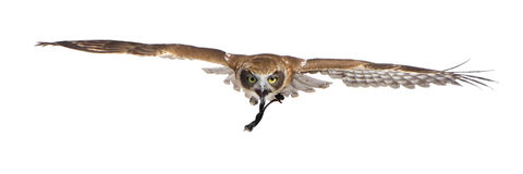 New Zealand owl (3 years) Stock Images