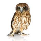 New Zealand owl Stock Images