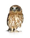 New Zealand owl Royalty Free Stock Image