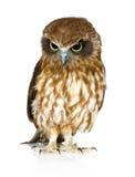 New Zealand owl Stock Photos