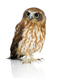 New Zealand owl Royalty Free Stock Images