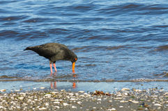 New Zealand oyster catcher. Variable (Haematopus unicolor) Oystercatcher on the beach stock image