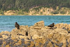 Variable Oystercatchers. New Zealand Oystercatcher bird searches for food among wild blue oysters stock image