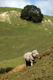 New Zealand Perendale Sheep Stock Photo