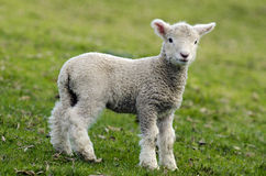 New Zealand Perendale Sheep Royalty Free Stock Photography
