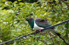 New Zealand Pigeon Stock Photography