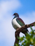 New Zealand pigeon @ Omana regional park. A large and distinctively-coloured pigeon found in many parts of New Zealand. This picture was taken at Omana regional Royalty Free Stock Photography