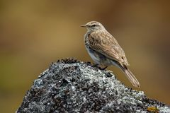 New Zealand Pipit - Anthus novaeseelandiae - pihoihoi, small passerine bird of Australia, New Zealand and New Guinea. Some split t. He pipit into two species royalty free stock photos