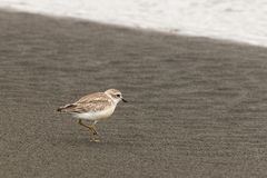New Zealand plover Royalty Free Stock Photo