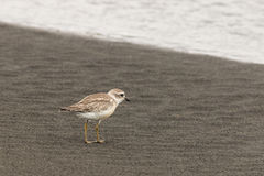 New Zealand plover standing on beach Royalty Free Stock Photos
