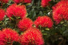 New Zealand Pohutukawa Flower Close Up. Bright red flowers of New Zealand Pohutukawa trees in summer. Also called new zealand christmas tree Royalty Free Stock Photo