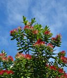 New Zealand Pohutukawa Tree in Full Mid Summer Bloom royalty free stock image