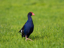 New Zealand Pukeko, the purple swamphen. Pūkeko is the New Zealand name for the purple swamphen. It is found commonly throughout New Zealand. This picture was Stock Photos