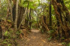 New Zealand Rainforest. Beautiful vivid rainforest in New Zealand. Tree trunks are covered by moss and ground is full of fern. Fiordland national park royalty free stock photography