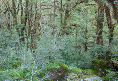 New Zealand Rainforest Royalty Free Stock Photo