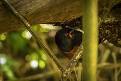 New Zealand Rare And Endangered Saddleback. He saddlebacks or tieke are two species of New Zealand bird of the family Callaeidae. Both are glossy black with a Royalty Free Stock Image