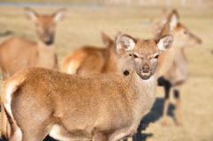 New Zealand red deer Stock Image