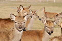 New Zealand red deer Royalty Free Stock Image