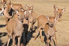 New Zealand red deer Stock Photo