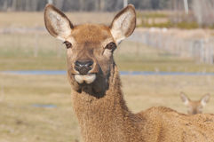 New Zealand red deer Stock Images