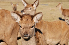New Zealand red deer Stock Photos
